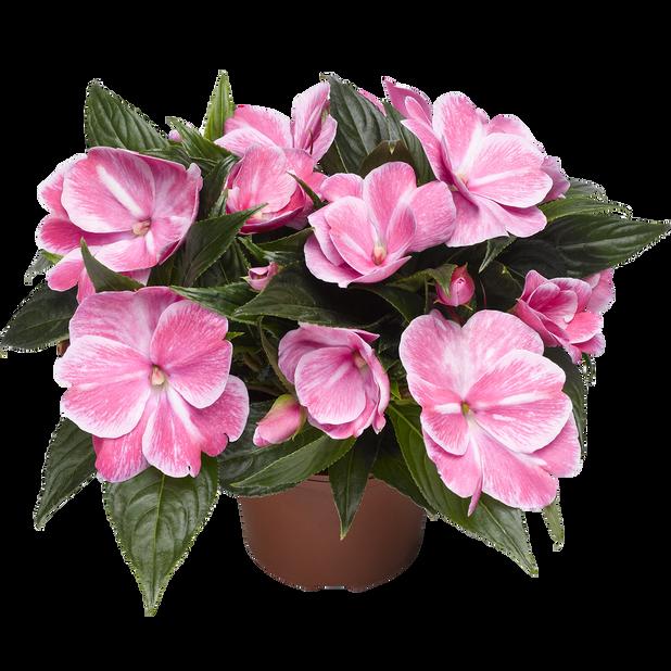 Uudenguineanliisa, Ø12 cm, Pinkki