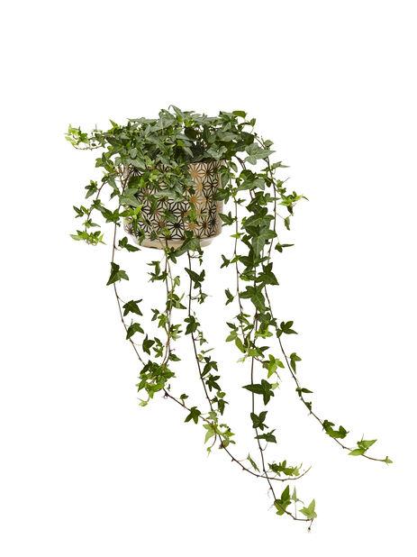 Muratti, pitkät versot, Korkeus 80 cm, Vihreä