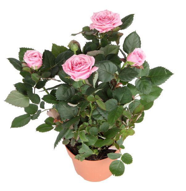 Ruukkuruusu , Korkeus 32 cm, Pinkki