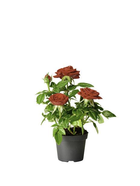 Ruukkuruusu , Korkeus 12 cm, Punainen