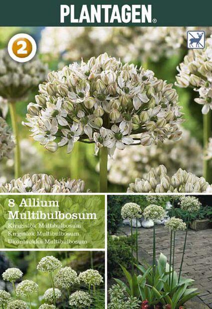 Allium 'Multibulbosum', Useita värejä