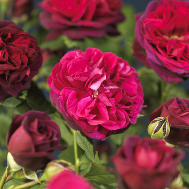 David Austen Ruusu 'Munstead Wood', Ø21 cm, Punainen