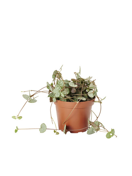 Herttalyhty, Korkeus 15 cm, Vihreä