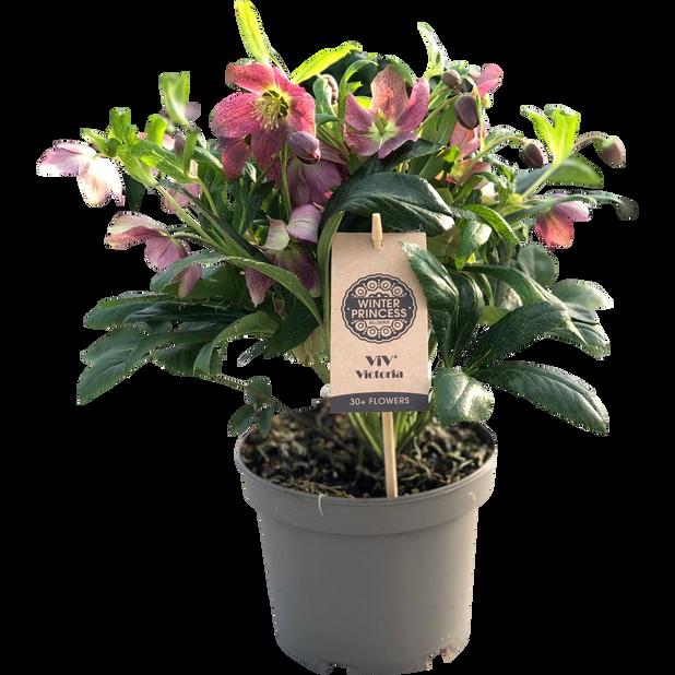 Jouluruusu 'Victoria', Ø15 cm, Pinkki