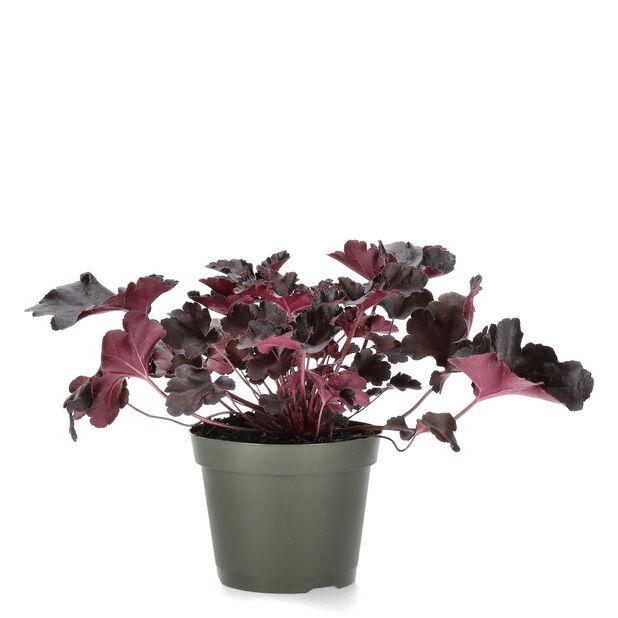 Keijunkukka, Ø15 cm, Musta