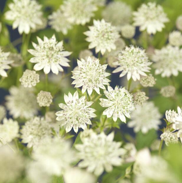 Isotähtiputki 'Star of Billion', Ø19 cm, Valkoinen