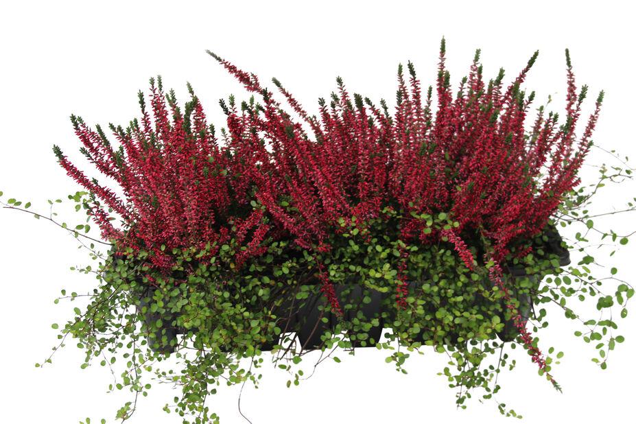 Heather Romantic Garden balcony box  bowl 55 cm