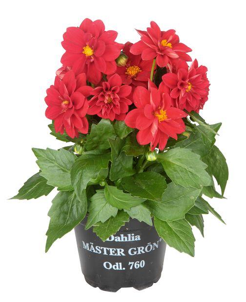 Dahlia Red 12 cm