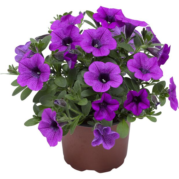 Petunia Dekko 'Deep Lavender Vein', Ø12 cm, Violetti