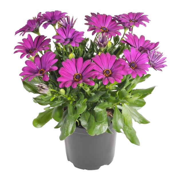 Osteospermum Purple 11 cm