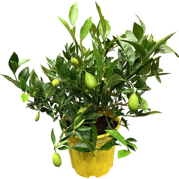 Limekvatti, Ø19 cm, Keltainen