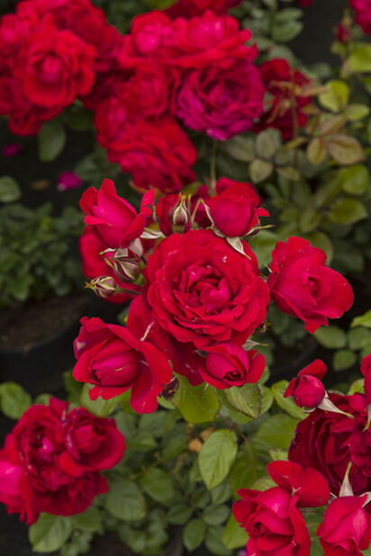Runkoruusu, Korkeus 60 cm, Punainen