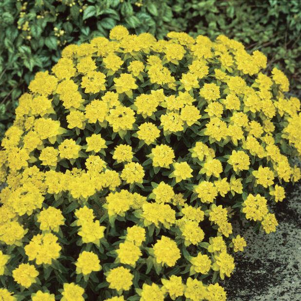 Kultatyräkki 11 cm