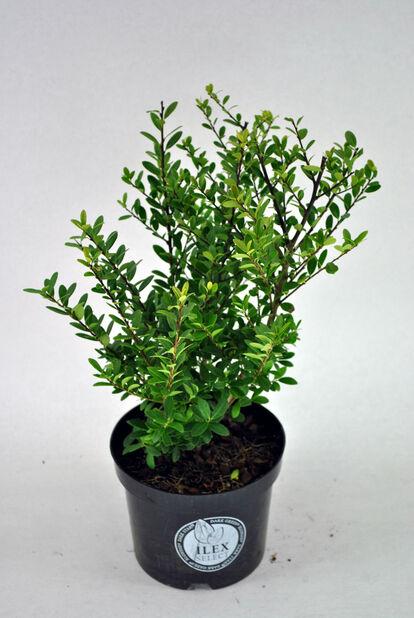Japaninorjanlaakeri 'Luxus', Korkeus 30-40 cm, Vihreä