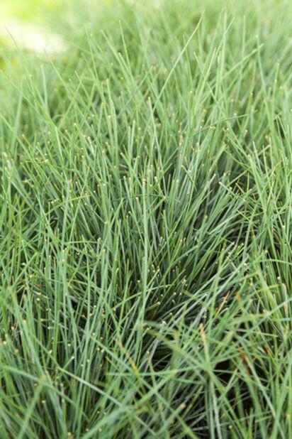 Sininata, Korkeus 15 cm, Vihreä