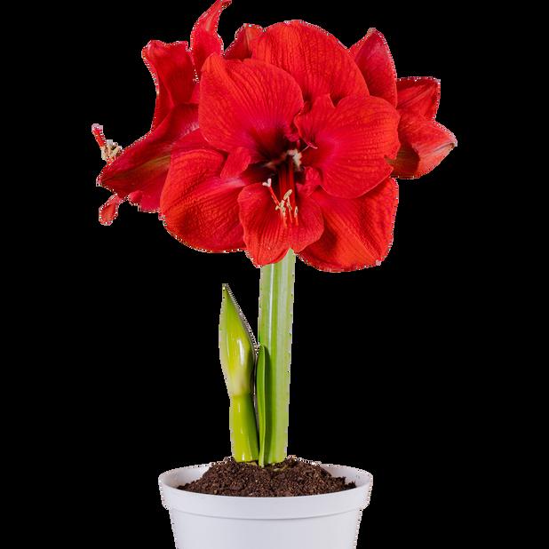 Amaryllis 1-vanainen 10.5 cm