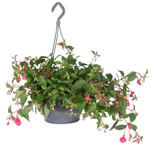 Fuchsia h. basket 25 cm