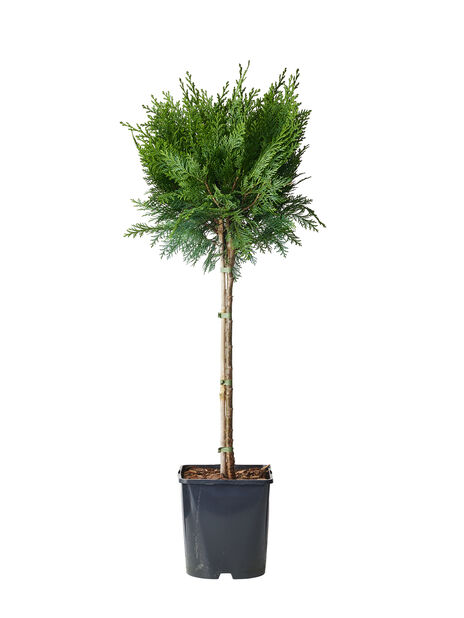Lawsoninsypressi 'White Spot', Korkeus 60-80 cm, Sininen