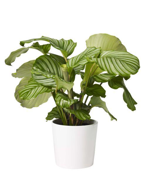 Silkkimaija , Korkeus 80 cm, Vihreä