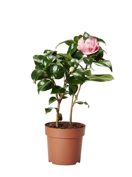 Kamelia, Ø12 cm, Pinkki