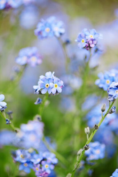 Lemmikki, Ø10.5 cm, Sininen