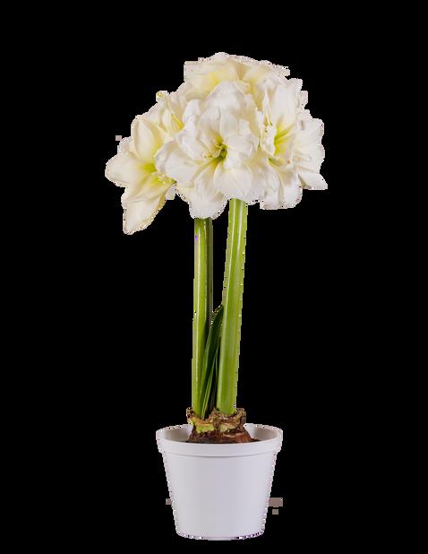 Amaryllis 'Rondella', Ø13 cm, Valkoinen