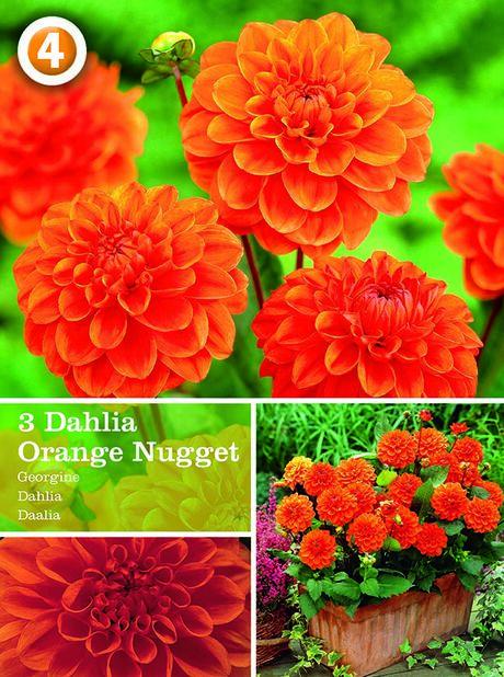 Koristedaalia 'Orange Nugget', Oranssi
