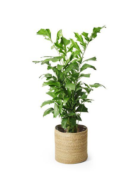 Burmaneväpalmu, Korkeus 130 cm, Vihreä