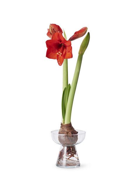 Lasinen amaryllismaljakko K15.5 cm