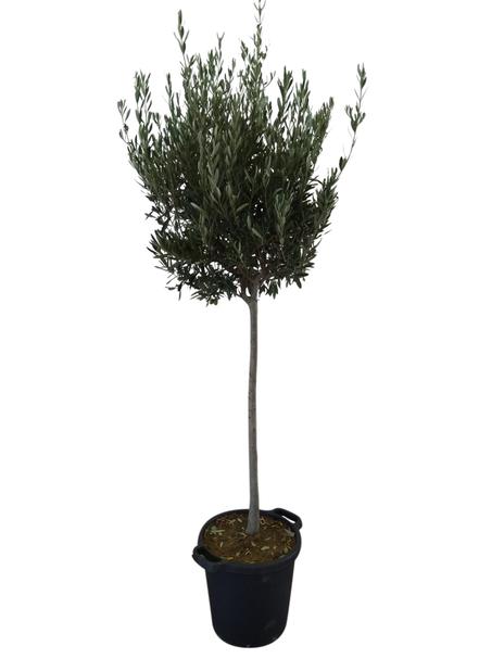 Oliivipuu 35 cm