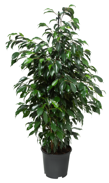 Limoviikuna 'Danielle', Korkeus 115 cm, Vihreä