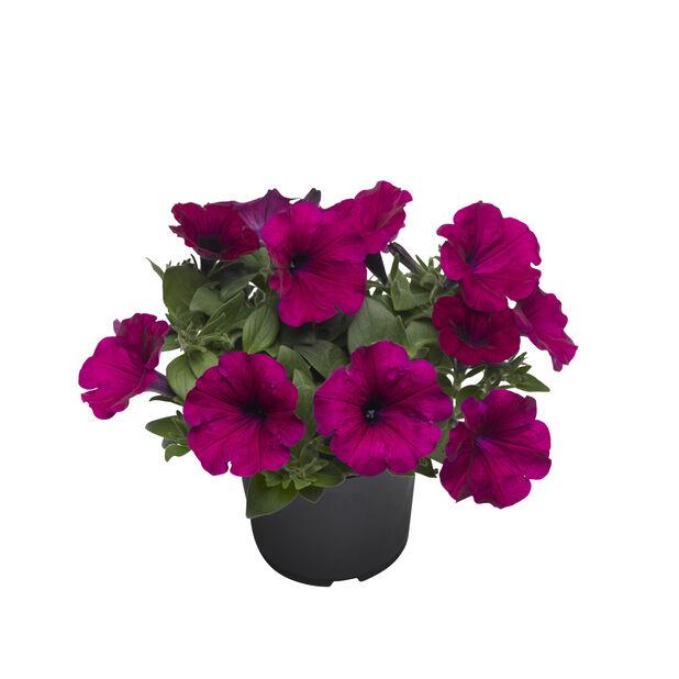 Petunia 'Surfinia' 12 cm