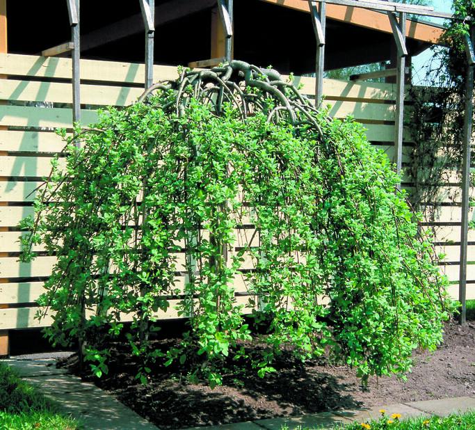 Riipparaita 'Kilmarnock' rungollinen , Korkeus 100 cm, Vihreä