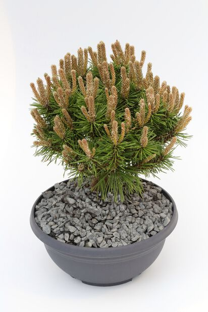 Pinus mugo 'Benjamin', Ø23 cm, Vihreä