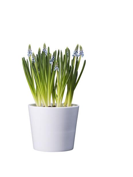 Helmililja, Ø9 cm, Sininen