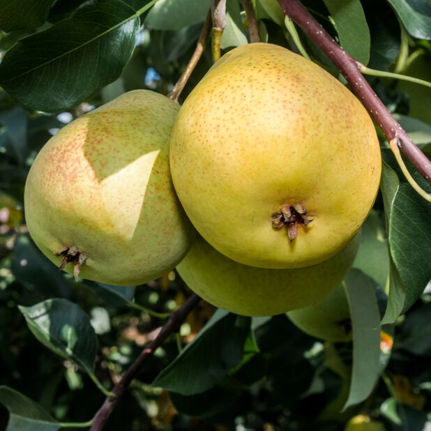 Päärynä 'Tohtorinpäärynä', Korkeus 180 cm, Vihreä