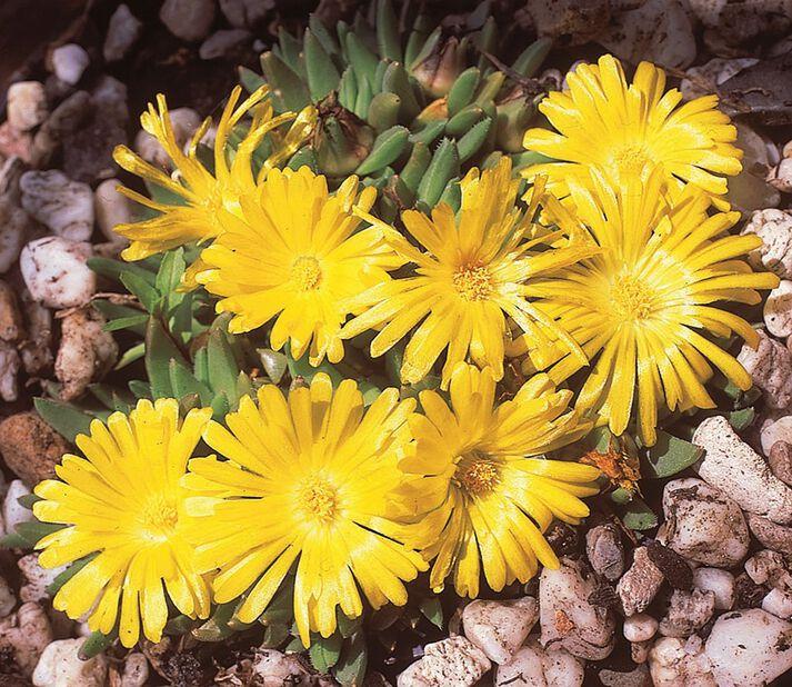 Piikkipäivikki , Ø11 cm, Keltainen