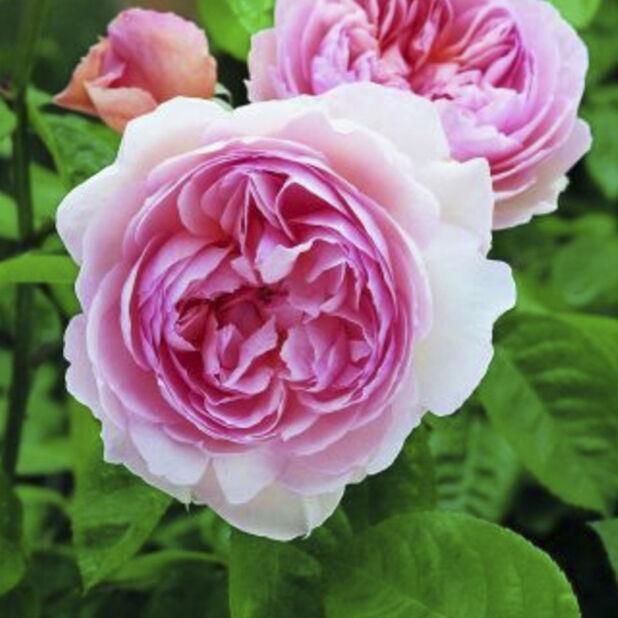 David Austen Ruusu 'Gentle Hermione', Ø21 cm, Pinkki