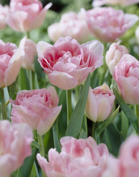 Tulppaani 'Angelique', Useita värejä
