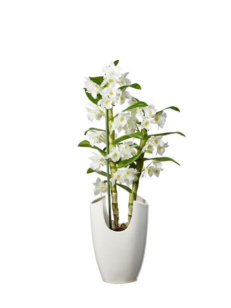 Puikkokämmekkä, Korkeus 50 cm, Valkoinen