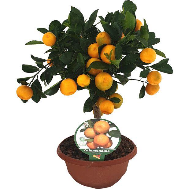 Kääpiösitrus astiassa, Ø20 cm, Oranssi