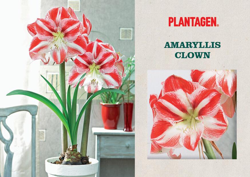 Amaryllis 'Clown', Monivärinen