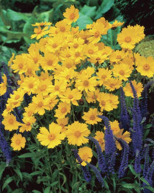 Isokaunosilmä, Korkeus 15 cm, Keltainen