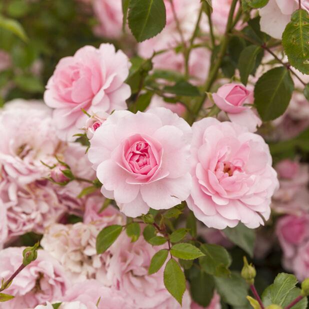 Vaaleanpunainen runkoruusu, Korkeus 60-80 cm, Pinkki