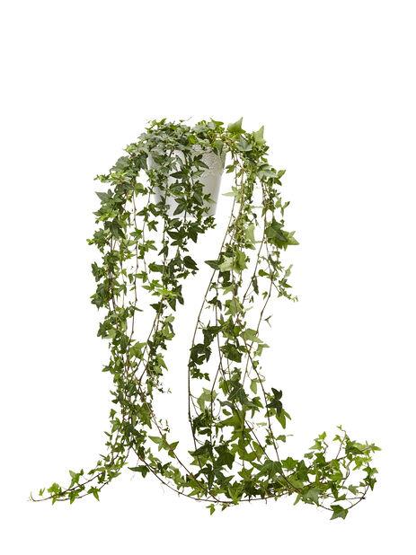 Muratti pitkillä versoilla 12cm