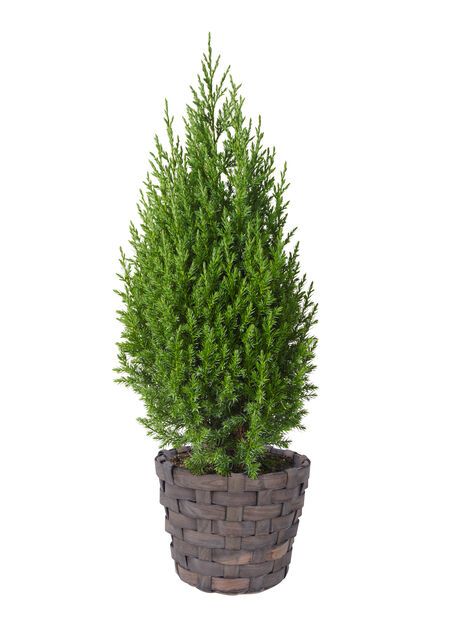 Juniperus chinensis 'Stricta' 19 cm