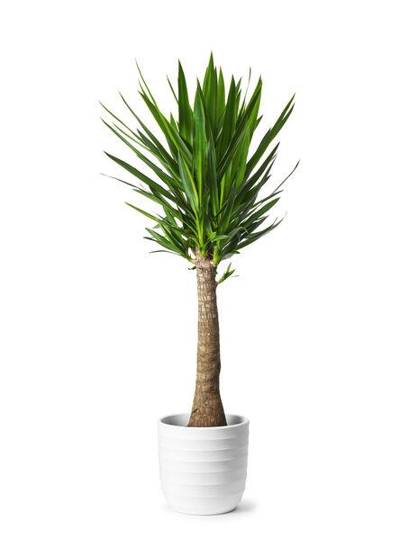 Yucca 90-45 24cm (TS)