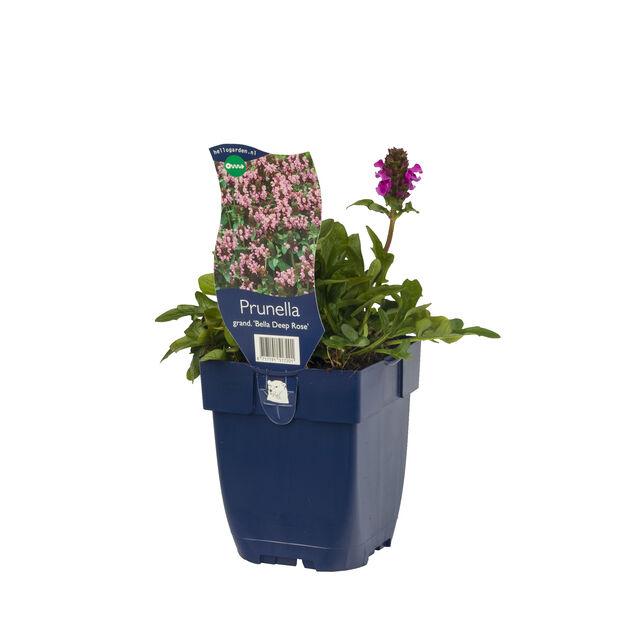 Isoniittyhumala 'Bella Deep Rose', Ø11 cm, Pinkki