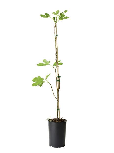 Ficus carica 'Bornholms Diamant', Korkeus 35 cm, Vihreä