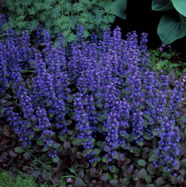 Rönsyakankaali , Ø11 cm, Sininen